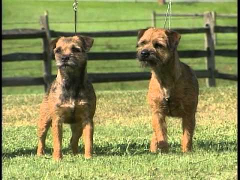 Border Terrier - AKC Dog Breed Series