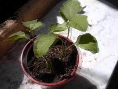 Comment faire pousser des aubergines sur son balcon youtube - Faire pousser des tomates sur un balcon ...