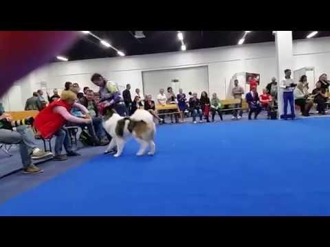 Американская акита Жасти Танец Улыбайся