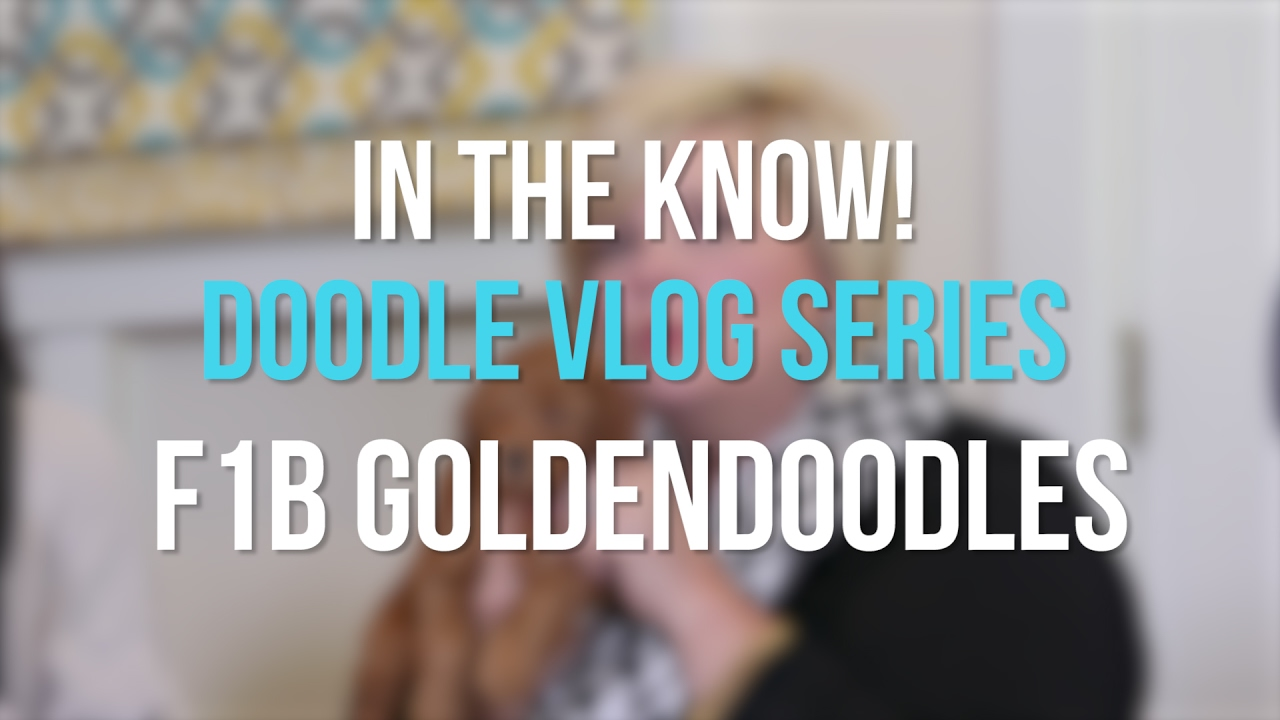 F1B English Goldendoodles | Teddybear Goldendoodles