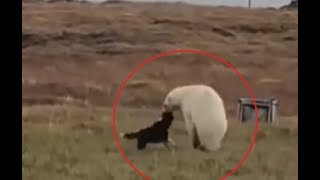 Brave dog takes on a polar bear more than twice its size!!!