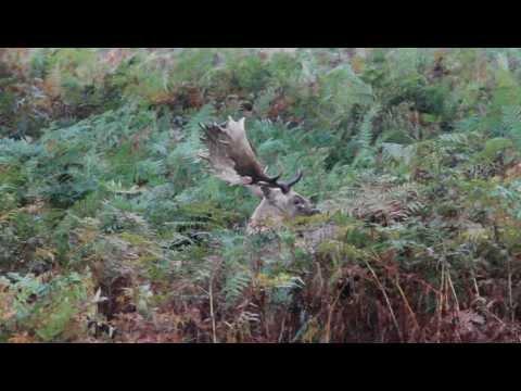 Big Fallow Buck Groaning During The Rut