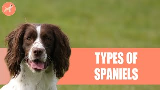 10 Different Types of Spaniels