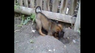 Собака роет яму.  Кладоискатель