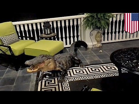Thumbnail: Alligator in house: Nine-foot gator rocks up at South Carolina home, refuses to budge