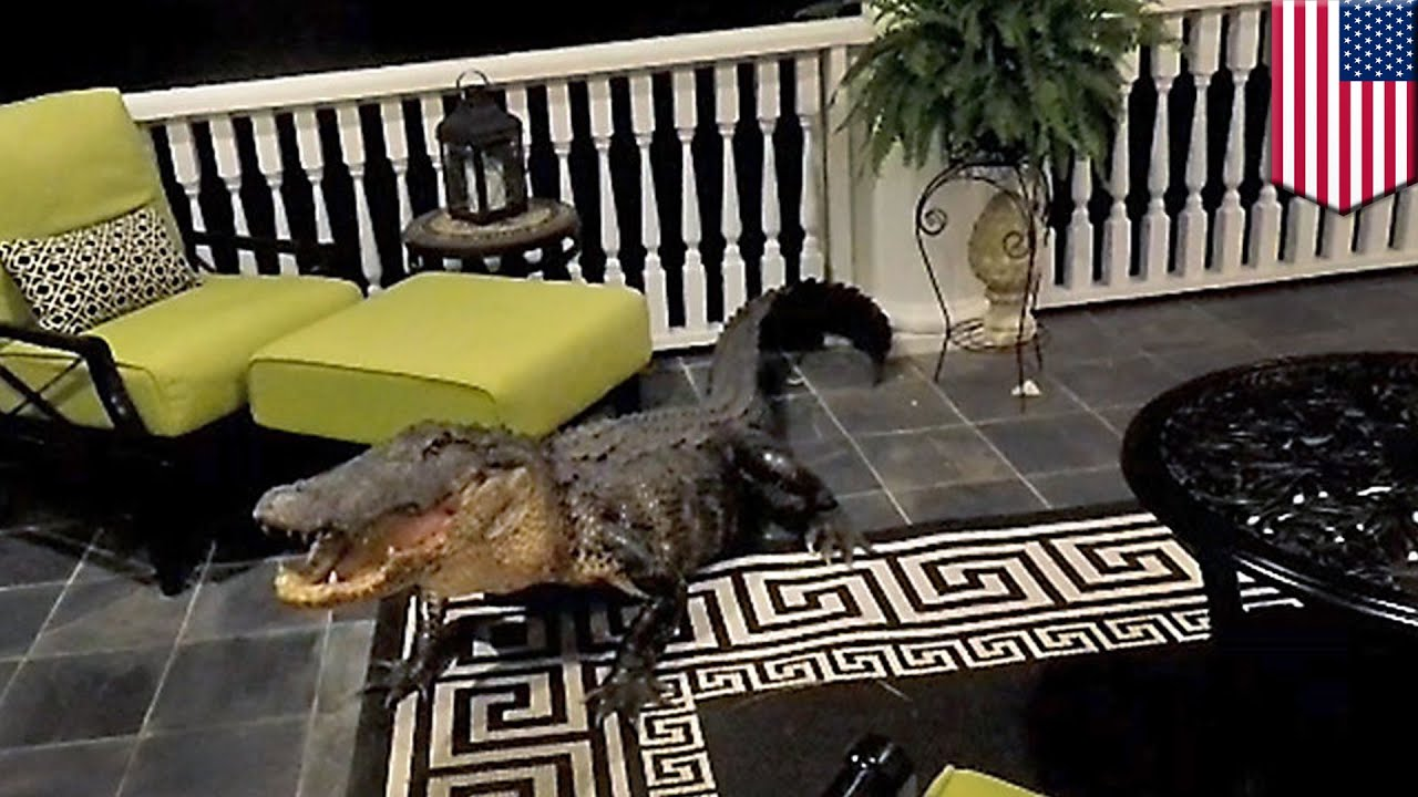 Alligator in house: Nine-foot gator rocks up at South Carolina home, refuses to budge