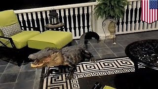 Alligator in house: Nine-foot gator rocks up at South Carolina home, refuses to budge