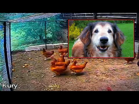 Dog saves chickens from fox