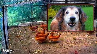 うちのニワトリに手を出すな!庭へ侵入してきたキツネからニワトリたちを守る犬