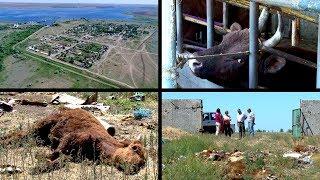 «Скотный двор»: Жители поселка в Волгоградской области не хотят жить на кладбище животных