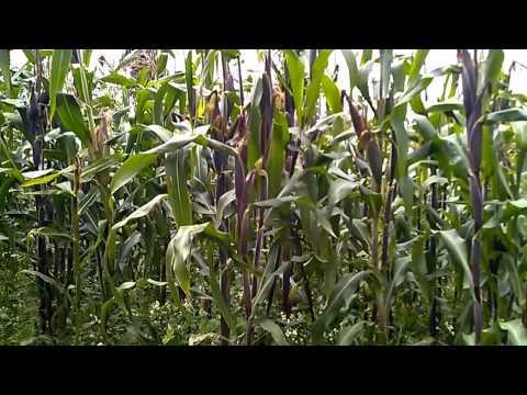 Cultivo exitoso de maíz en México
