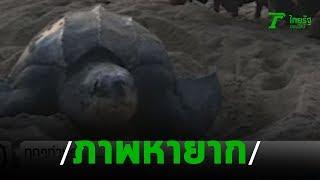 เต่ามะเฟืองกลับมาวางไข่เป็นปีที่ 2 | 18-11-62 | ข่าวเช้าไทยรัฐ