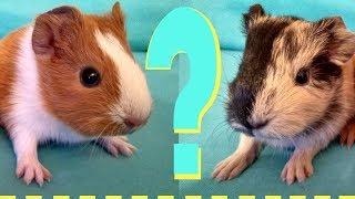 Как определить пол морской свинки. Мальчик или Девочка?