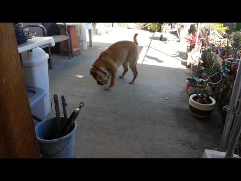 Shar Pei and Staffordshire Bull Terrier playing.