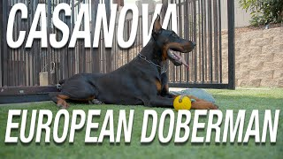 CASANOVA: EUROPEAN DOBERMAN STUD