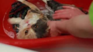 Моя кошка Буся поёт в ванне. Моем кошку  - стала похожа на гранпи кэт. Видео про кошек.Персы