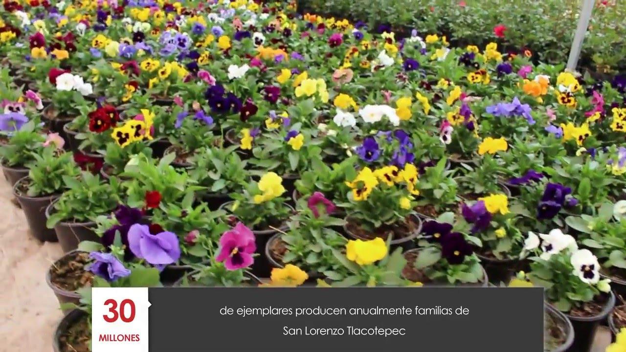 Productores de plantas de ornato en san lorenzo for Viveros de plantas de ornato