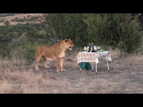 South-Africa Nambiti Game reserve lion visit