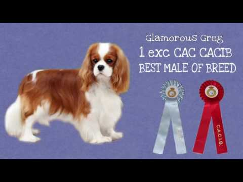 Madrid International Dog Show 2016/Cavalier King Charles Spaniel ❤️