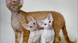 Порода кошек.  Орегон рекс. Выведена в середина 20 века