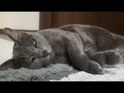 ASMR Purring Cat, Sleepy Cat. Korat cat