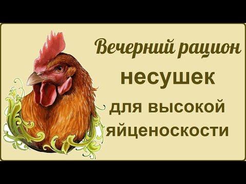 Курица несушка: кормление вечером 🐔 Состав корма  🐔 Сравниваем яйца