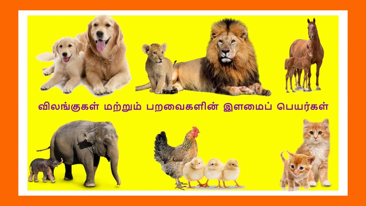 விலங்குகளின் இளமைப் பெயர்கள்| Learn Animals and their babies name for kids  and children in Tamil