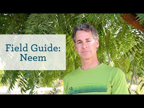 Neem - An Ayurvedic Herb for Healthy Skin & Blood - YouTube