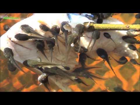 Hyla arborea tadpoles   Kaulquappen 5