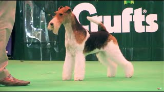 When King the Wire Fox Terrier won at Crufts 2015