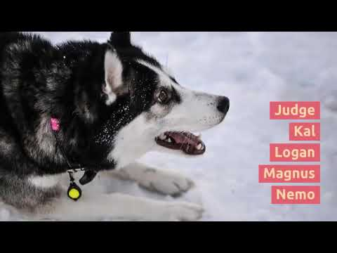 Husky Names - 60 Siberian Husky Dog Names
