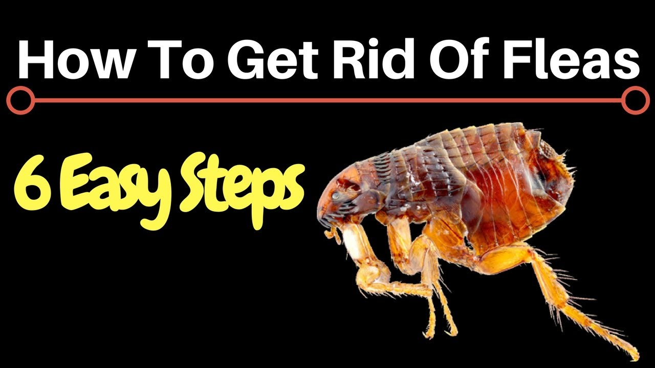 How To Get Rid Of Fleas Fast U0026 Permanently At Home
