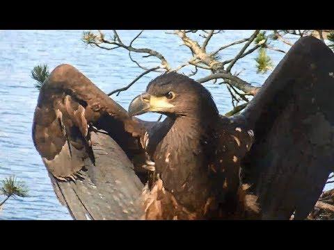 Smola Norway Eagle Cam ~ Elida Raptor Extraordinaire Beautiful Closeups 7.14.18 - 동영상