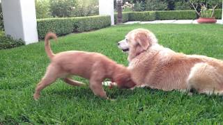 10 Week Old Golden Retriever Puppy & 8 Year Old Golden Play