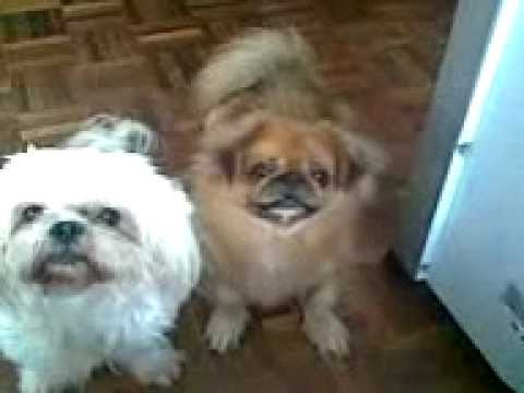 pekingese and shih tzu shih tzu diamond and pekingese popo staring at me 2827