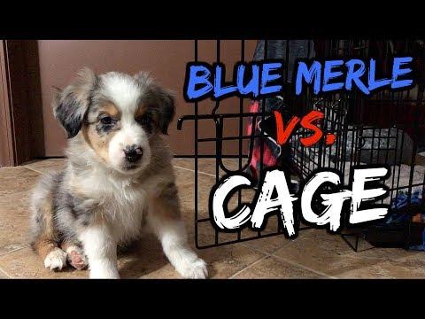 AUSTRALIAN SHEPHERD vs. DOG CAGE