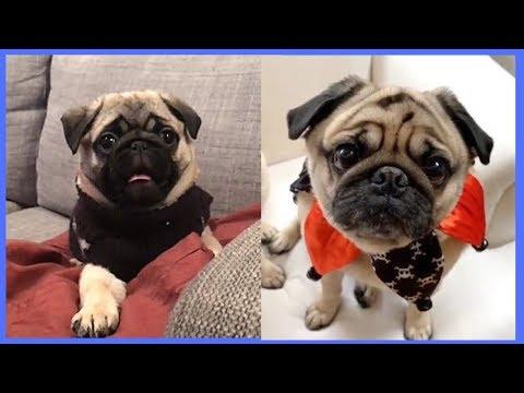 Cute Pug Fails Vines - Funny Pug Dog Baby Puppy Videos