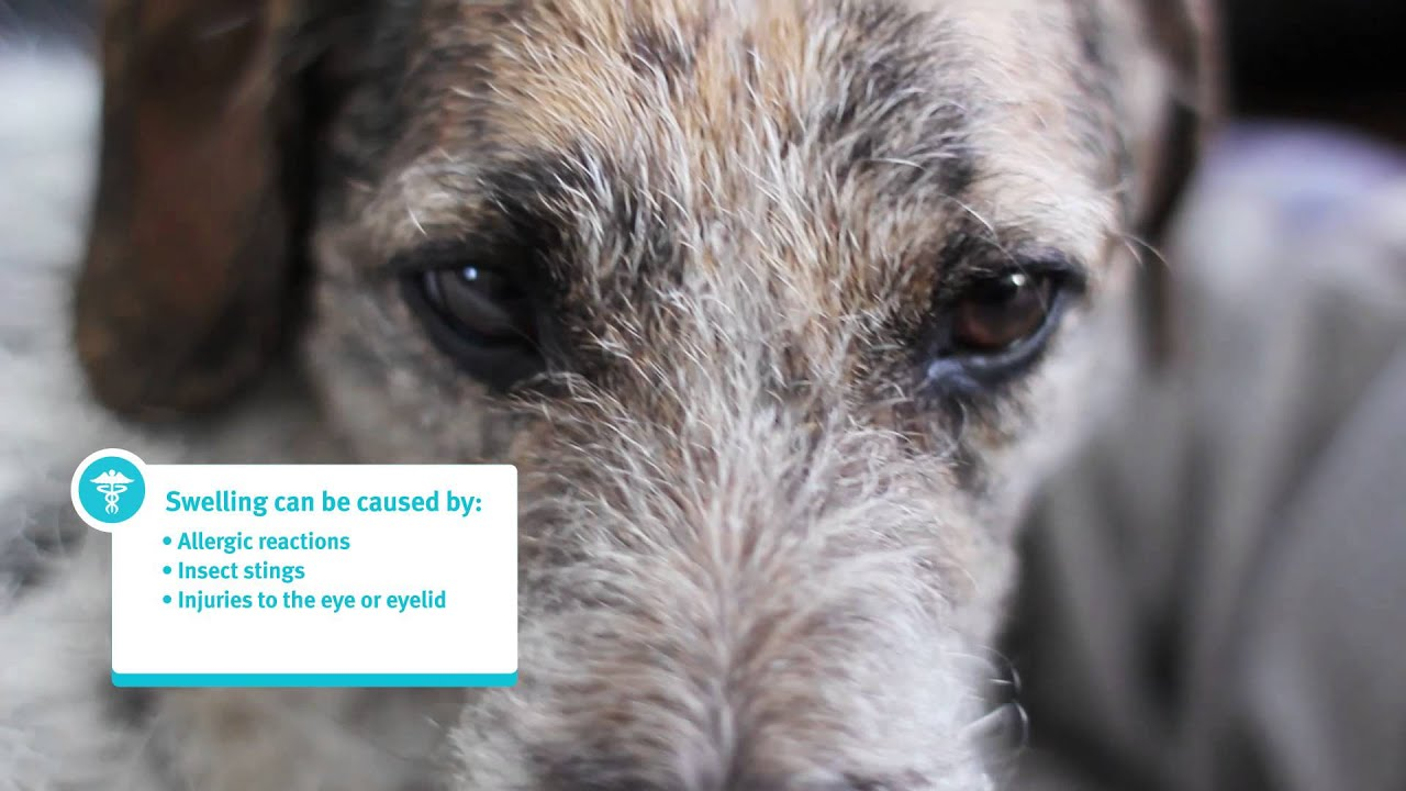 Banfield Pet Hospital Ask A Vet – Why is my Pet\'s Eye Swollen? - YouTube