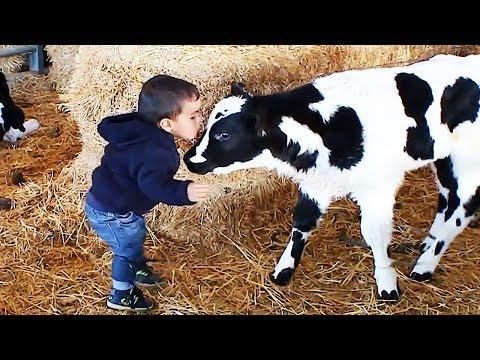 El momento más divertido entre bebés y vaca #2 🐮👶 Compilación de bebés divertidos