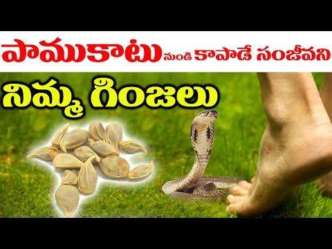 పాముకాటు నుండి కాపాడే సంజీవని నిమ్మ గింజలు..!    Natural Home Remedies For Snake Bites