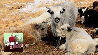 Тува. Паломничество к азиатским быкам. Часть 1  🐾 Про животных и людей 🌏 Моя Планета