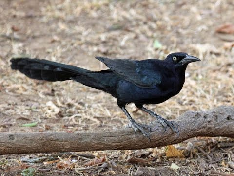 Great-tailed Grackle | Great-tailed Grackle Informaton | Great-tailed Grackle Sound