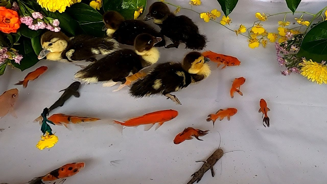 Carp Baby Duck Duckling Parrot Fish Catfish Goldfish Halfmoon Betta Fish Loach Cute animals Videos