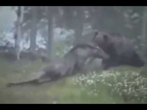 Grizzly Bear Attacks Moose CAUGHT ON CAMERA
