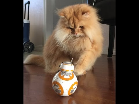 Thumbnail for Cat Video Luigi The Lion Cat meets BB-8 Droid