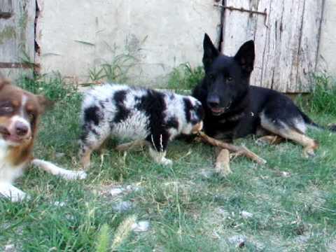 Australian shepherd attacks german shepherd