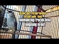 Gacor Garuda Ropel Trucukan Ini Memancing Trucuk Bisu Ikut Bunyi Dan Ngropel  Mp3 - Mp4 Download