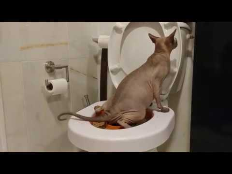 Sphynx Cat using human toilet / DonSphynx
