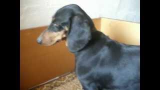Milla Rövidszőrű Tacskó 4 Hetes Kölyköket Szoptat -dachshund Welpen, Puppy!
