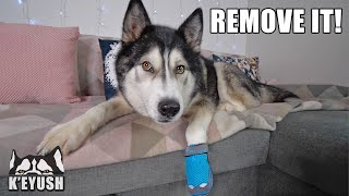 Husky NOT Happy About Wearing a Boot it! He HATES it!